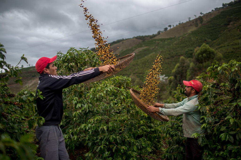 Producción de Café en Guatemala.